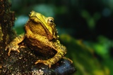 Green Climbing Toad Photographic Print