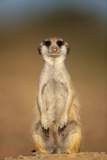 Meerkat Sitting Upright Photographic Print
