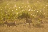 Lion Cubs in Rain, Masai Mara Game Reserve, Kenya Photographic Print