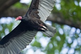 Black Vulture, Costa Rica Photographic Print