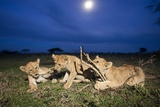 Lion Cubs at Night Photographic Print