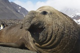 Elephant Seal on South Georgia Island Stampa fotografica