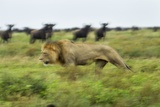 Lion and Wildebeest Herd Photographic Print