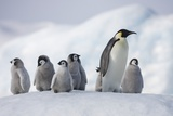 Emperor Penguins in Antarctica Fotografie-Druck