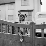 A Boxer Dog Looking over the Garden Gate of a House, Aspenden, Hertfordshire Photographic Print by John Gay