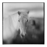 Icelandic Pony, Iceland Photographic Print