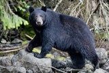 Black Bear in Rainforest in Alaska Photographic Print