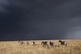 Plains Zebra Photographic Print