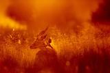 Impala, Moremi Game Reserve, Botswana Photographic Print
