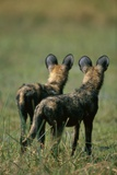 Close-Up of Wild Dogs Photographic Print