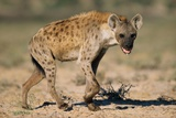 Hyena Walking in Morning Sun Photographic Print