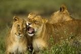 Lion Pride Photographic Print