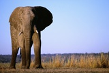 Elephant Standing Near the Chobe River Photographic Print