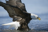 American Bald Eagle Fishing Photographic Print