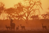 Greater Kudu and Impala Herd at Water Hole Photographic Print