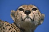 Close-Up of Cheetah Photographic Print