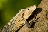 Black Iguana, Costa Rica Photographic Print