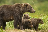 Brown Bear, Katmai National Park, Alaska Photographic Print