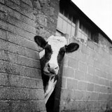 A Cow Peers around the Corner of a Barn's Buttress (Taken on the Isle of Wight) Photographic Print by John Gay