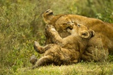 Lioness Cleaning Her Cub Photographic Print