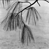 Kew Gardens, Greater London, Twigs and Long Needles on a Pine Tree at Kew Gardens Photographic Print by John Gay