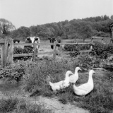 A Farmyard View of Three White Geese Watched by Some Cattle from Behind a Wooden Fence Photographic Print by John Gay