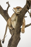 Lioness in a Tree Photographic Print