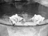 Polar Bears in Zoo Pool Photographic Print