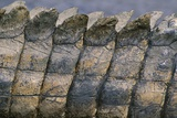 Close-Up of Nile Crocodile Scales Photographic Print
