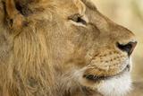 Lion, Ngorongoro Conservation Area, Tanzania Fotografie-Druck