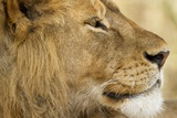 Lion, Ngorongoro Conservation Area, Tanzania Photographic Print