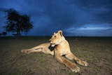 Lioness at Dusk Photographic Print