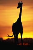 Giraffe Silhouetted at Sunset Fotografisk tryk