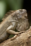 Green Iguana, Costa Rica Photographic Print