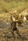 Lion Cub Greeting Photographic Print