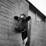 A Cow Peers around the Corner of a Brick Buttress at an Unidentified Farm on the Isle of Wight Photographic Print by John Gay