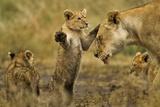 Lion Cub Greeting Fotografisk tryk