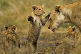 Lion Cub Greeting Photographic Print