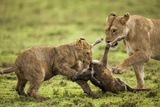 Lion Cub and Wildebeest Calf Photographic Print