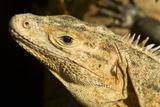 Black Iguana, Costa Rica Photographic Print