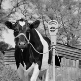 A Freisian Cow Tethered to a Mobile Parking Meter in a Farmyard Photographic Print by John Gay