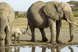 Elephant Calf and Herd Photographic Print