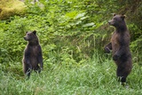 Brown Bears Standing on Baranof Island Photographic Print