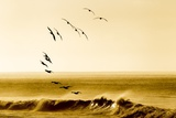 Brown Pelicans at Sunrise, Osa Peninsula, Costa Rica Photographic Print