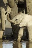 Elephant Calf Photographic Print