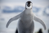 Emperor Penguin Chick in Antarctica Photographic Print