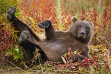 Brown Bear, Katmai National Park, Alaska Reprodukcja zdjęcia