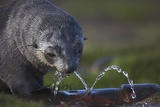 Antarctic Fur Seal Drinking from Leaking Water Pipe Photographic Print