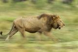 Lion Walking on Savanna Photographic Print