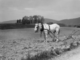 1930s White Horse in Field Harnessed to Hand Plow Photographic Print